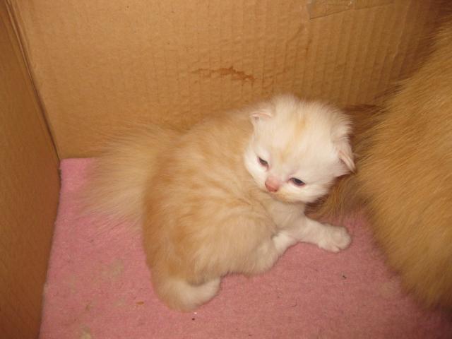 Продаю: тся персидские котята фото3