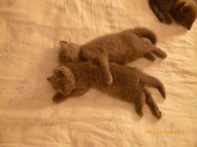Продаю: Британские плюшевые котики фото2