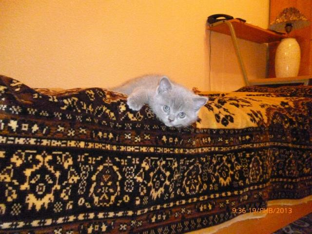 Продаю: Британские плюшевые котики фото3