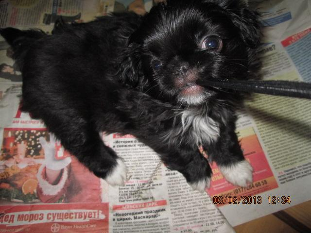Продаю: Японского хина щенки фото2