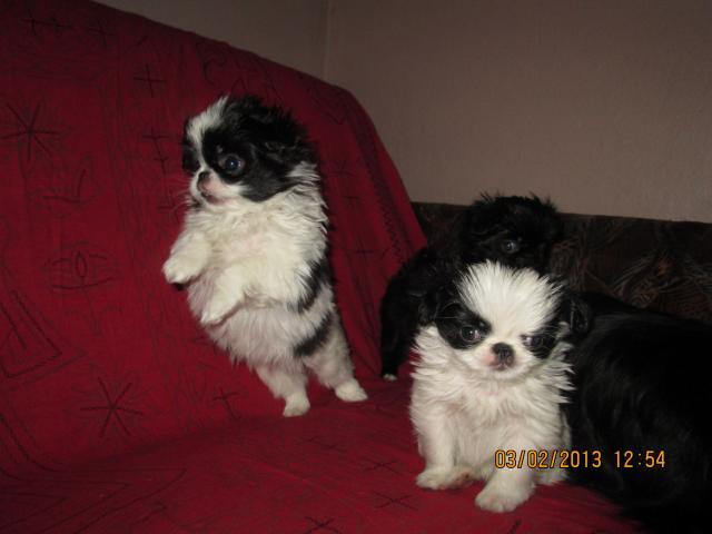 Продаю: Японского хина щенки фото3