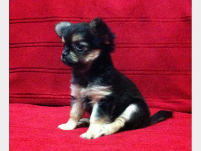 Продаю: Продается щенок чихуахуа