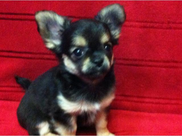 Продаю: Продается щенок чихуахуа фото2