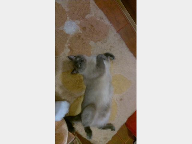 Вязка: Ищу кота для вязки