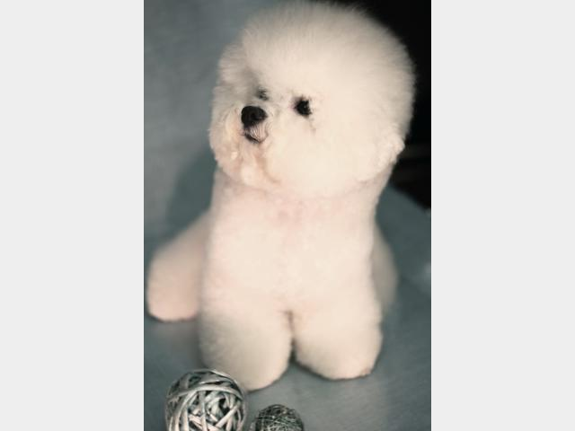 Продаю: Элитные щенки бишон фризе
