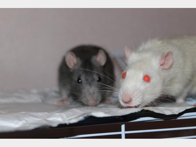 Отдам в дар: Отдам двух крысиков фото2