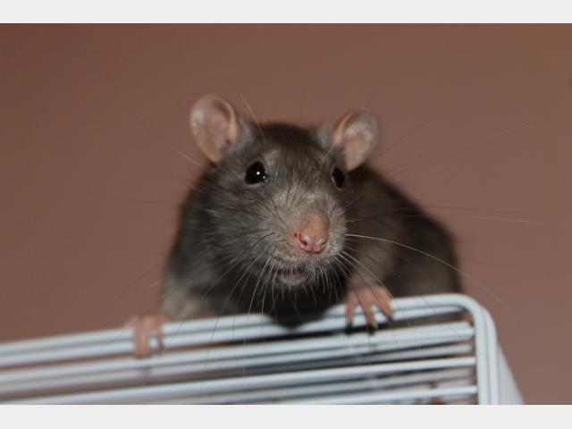 Отдам в дар: Отдам двух крысиков
