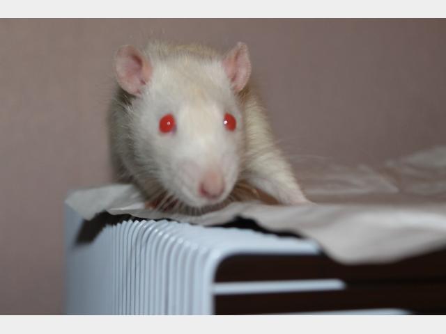 Отдам в дар: Отдам двух крысиков фото3