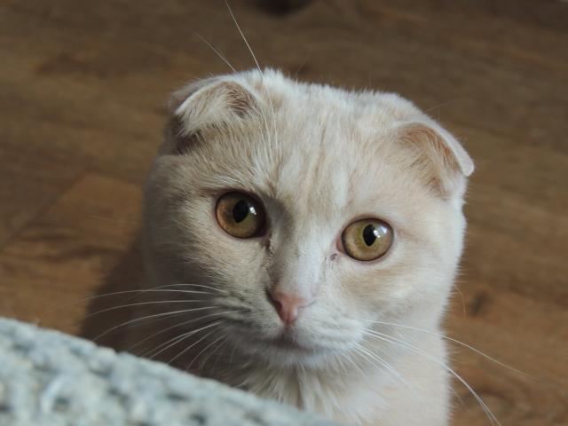 Вязка: Шотландская кошечка ищет котика фото3