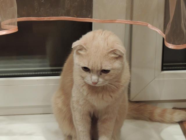 Вязка: Шотландская кошечка ищет котика фото4