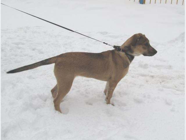 Отдам в дар: Солнечный щенок метис фото2