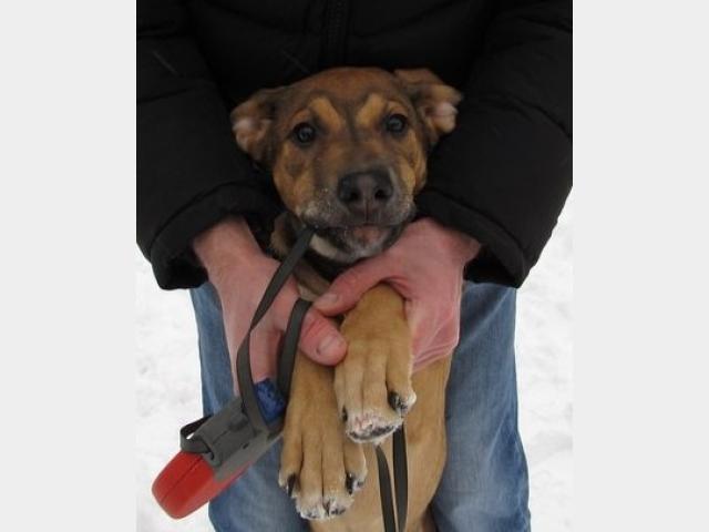 Отдам в дар: Солнечный щенок метис