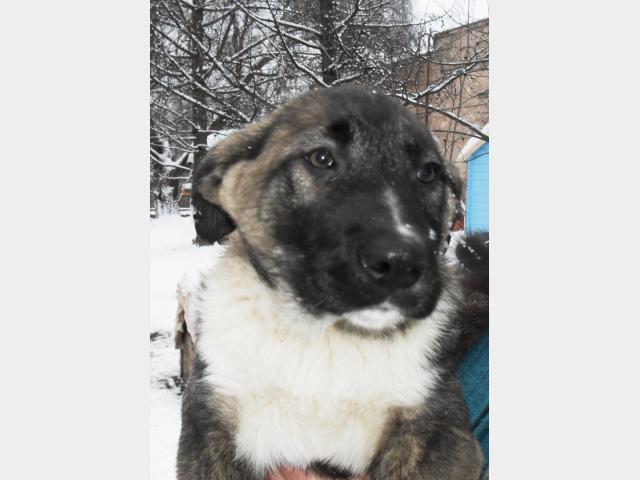 Отдам в дар: Крепкие щенки ищут хозяев, пропадут на улице фото3