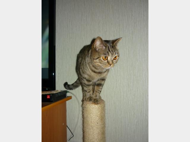 Вязка: Кошечка скоттиш страйт ищет кота