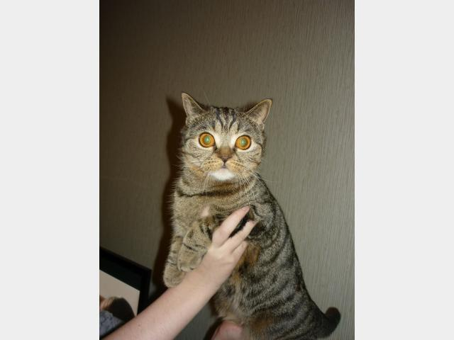 Вязка: Кошечка скоттиш страйт ищет кота  фото2