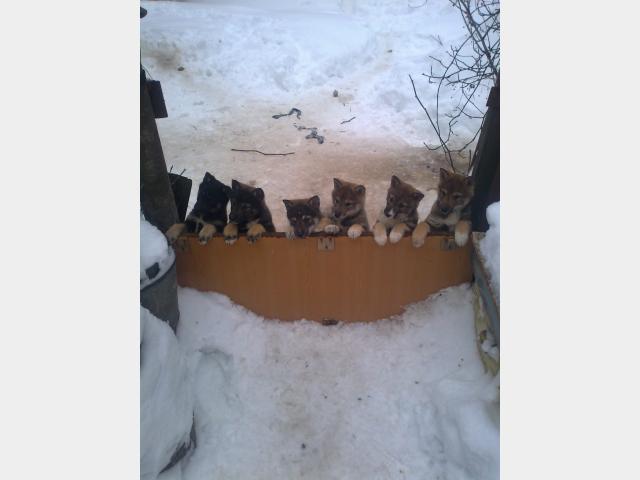 Продаю: Породистые щенки ЗСЛ от рабочих зверовых собак