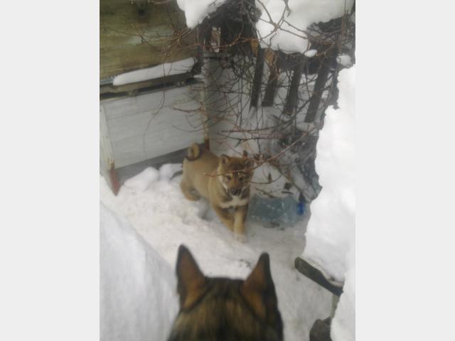 Продаю: Породистые щенки ЗСЛ от рабочих зверовых собак фото2