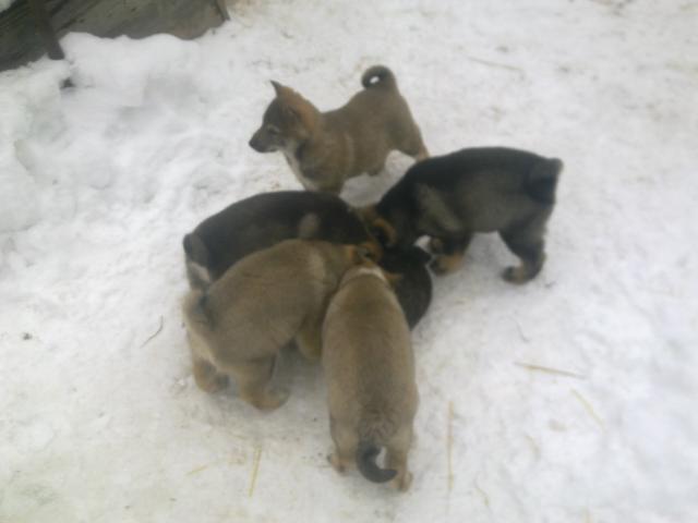 Продаю: Породистые щенки ЗСЛ от рабочих зверовых собак фото3