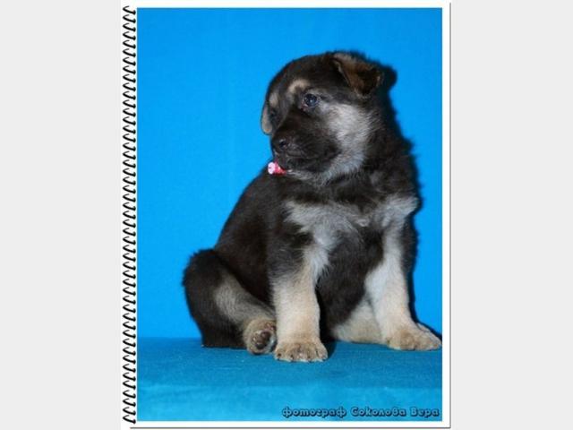 Продаю: Восточноевропейской овчарки щенки фото2