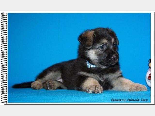 Продаю: Восточноевропейской овчарки щенки фото3