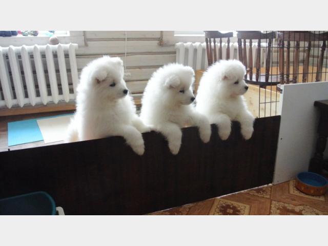 Продаю: Прекрасные щенки самоеда фото2