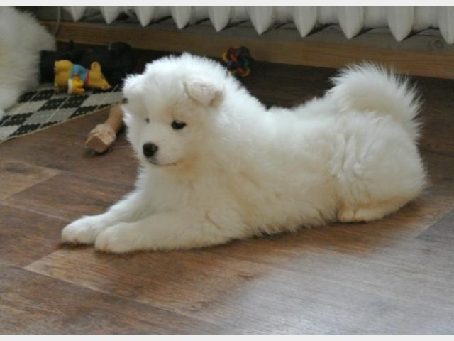 Продаю: Прекрасные щенки самоеда фото3