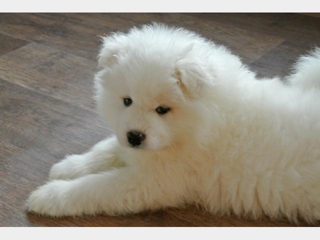 Продаю: Прекрасные щенки самоеда фото4