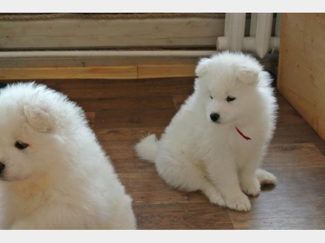 Продаю: Прекрасные щенки самоеда