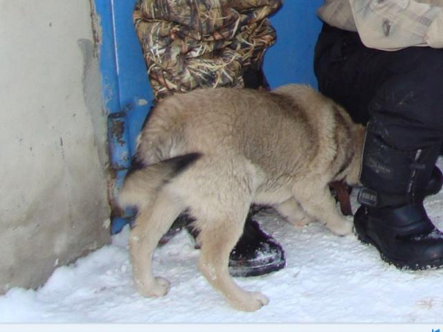 Потерялся/Нашелся: Пропала лайка мальчик, 7 мес, Челябинск фото2