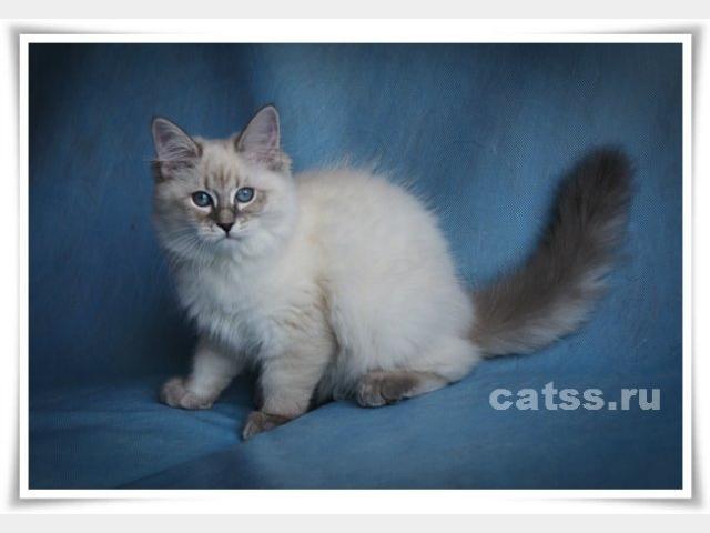 Продаю: Сибирские котята