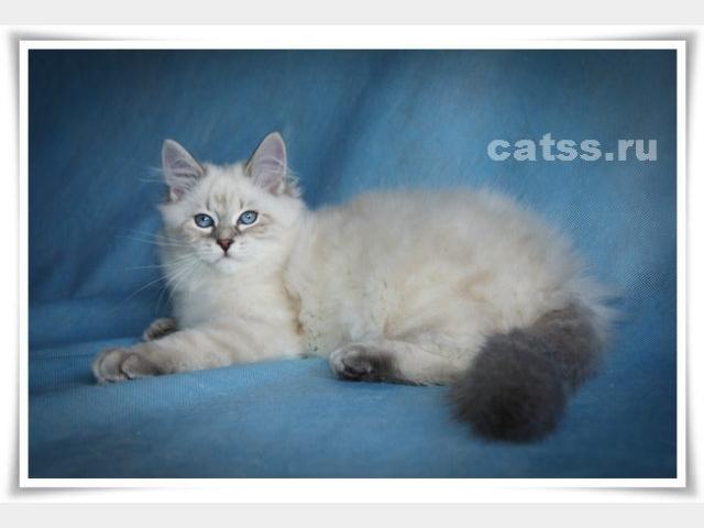 Продаю: Сибирские котята фото2