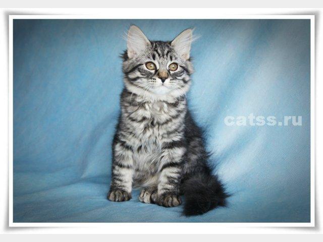 Продаю: Сибирские котята фото3