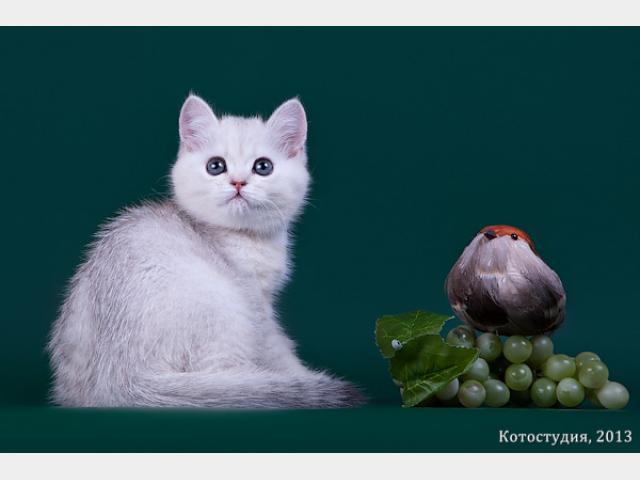 Продаю: Британские котята окрас шиншила
