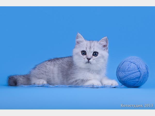 Продаю: Британские котята окрас шиншила фото2