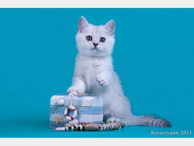 Продаю: Британские котята окрас шиншила фото3
