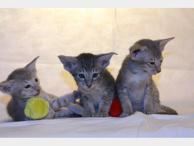 Продаю: Предлагаем ориентальных котят