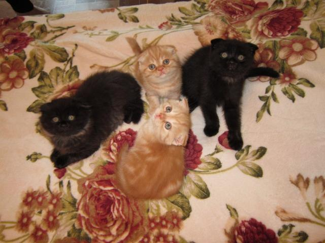 Продаю:  котят шотландских вислоухих