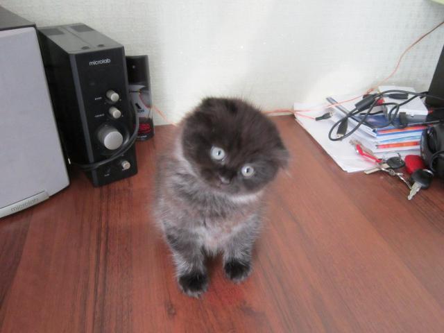 Продаю:  котят шотландских вислоухих фото2