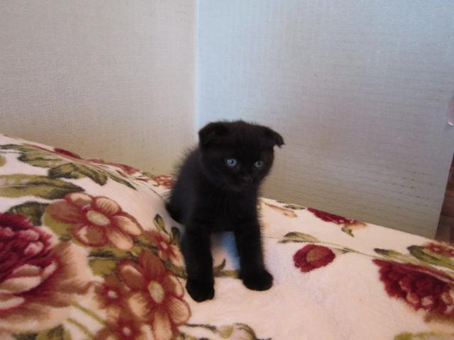 Продаю:  котят шотландских вислоухих фото3