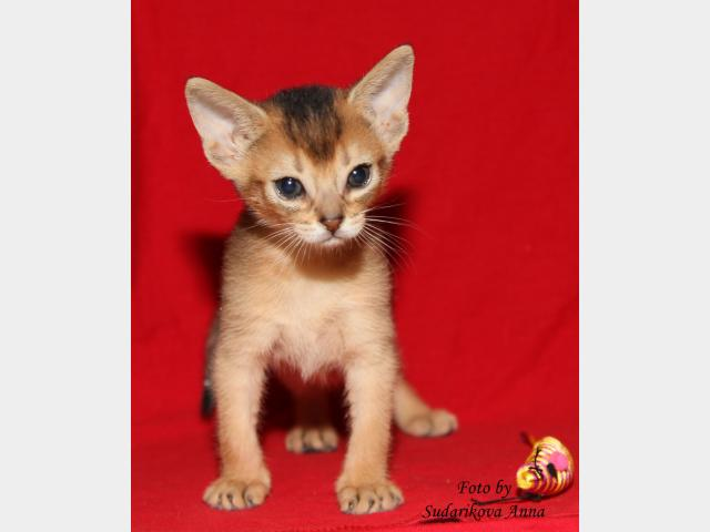 Продаю: Абиссинские котята-девочки