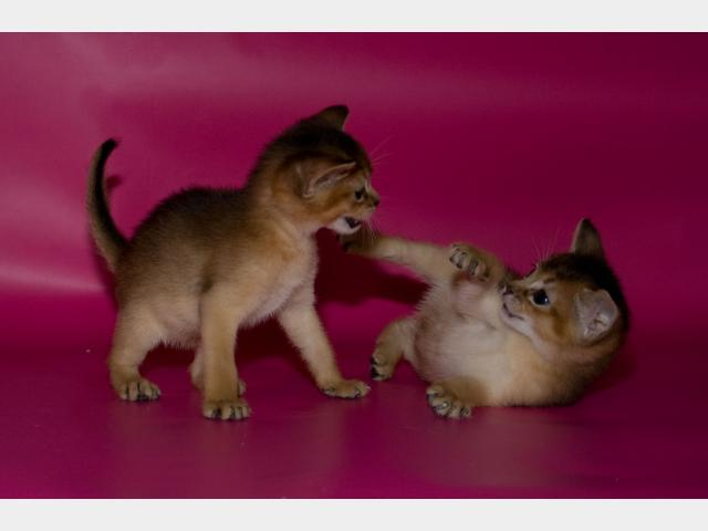 Продаю: Абиссинские котята-девочки фото3