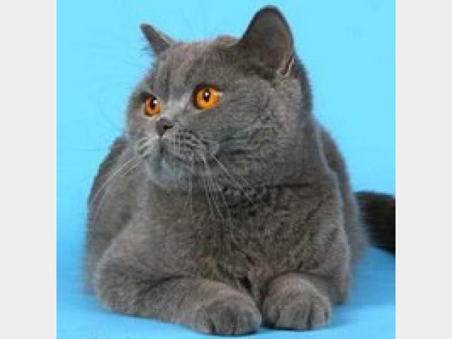 Продаю: Продается шикарный кот британец