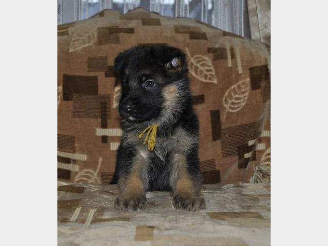 Продаю: Отличные щенки немецкой овчарки