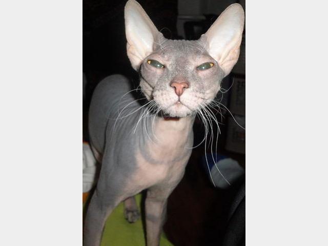 Вязка: Кошка Донской Сфинкс ищет кота для вязки