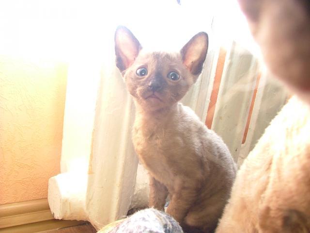 Продаю: Клубные котята корниш-рекс фото2