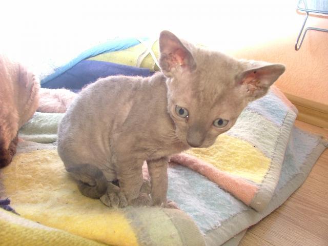 Продаю: Клубные котята корниш-рекс фото3