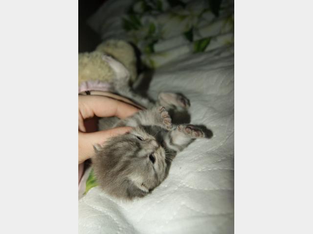 Продаю: Шотландские вислоухие котята ищут хозяев