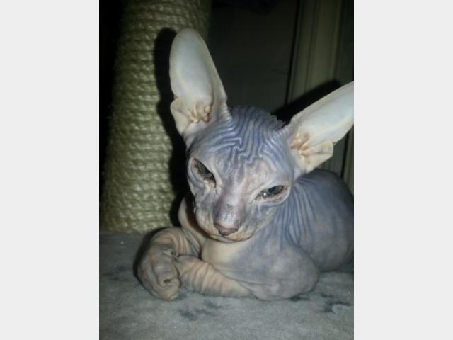 Продаю: тся котята Донской Сфинкс фото3