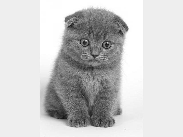 Продаю: Плюшевый вислоухий котенок
