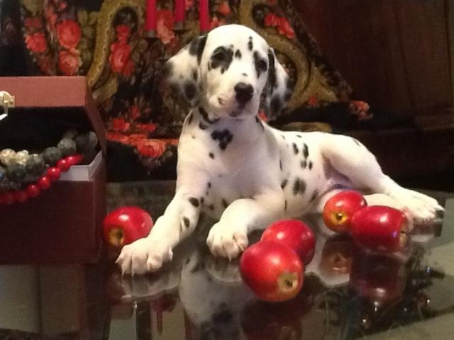 Продаю: Клубные щенки далматина